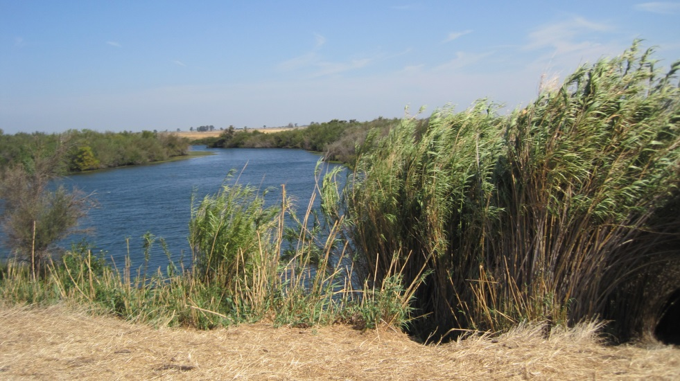Arundo within Cache Slough Complex