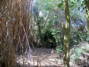 Chemically treated Arundo on the left, residual riparian vegetation on the right