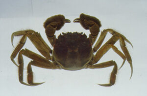 A brown-colored Chinese mitten crab (Eriocheir sinensi). Photo by CDFW.