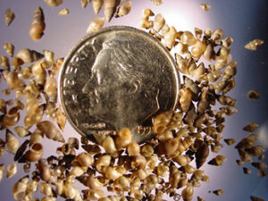 Many tan-colored New Zealand mudsnails (Potamopyrgus antipodarum) shown with a dime for size reference. Photo by U.S. Geological Survey.