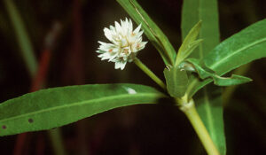 The white flower and green leaves of an alligatorweed (Alternathera philoxeroides) plant. Photo by National Plant Data Center, Baton Rouge, LA.