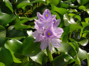 Purple water hyacinth (Eichhornia crassipes) flowers with yellow and blue markings and green leaves growing in the water. Photo by Wouter Hagens.