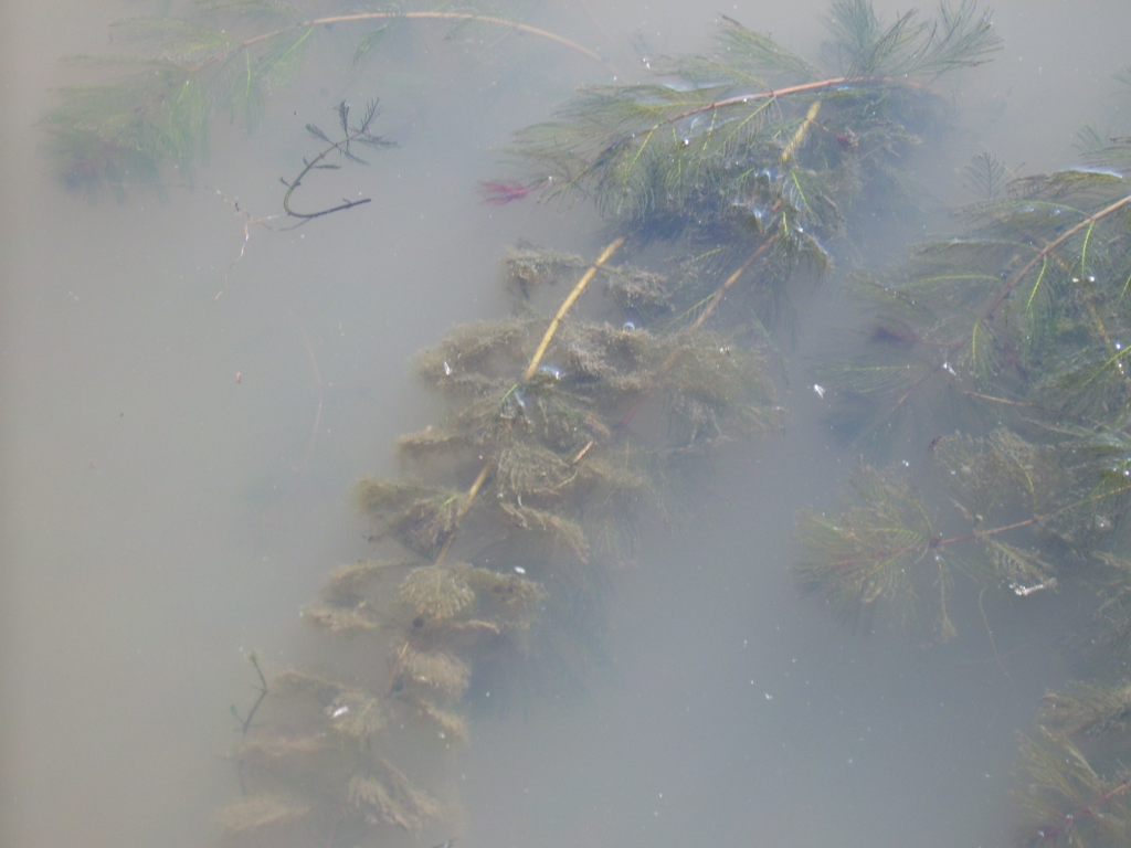 Eurasian watermilfoil (Myriophyllum spicatum) in the water. Photo by Fungus Guy.