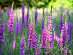Purple loosestrife (Lythrum salicaria) plants with purple flowers and green leaves. Photo by Liz West.