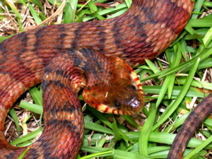 A southern watersnake (Nerodia fasciata) with tan, brown, and red-striped skin in the grass. Photo by CDFW.