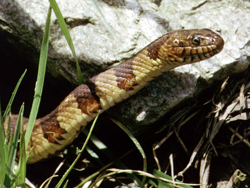 A northern watersnake (Nerodia sipedon) with brown and tan stripes in the grass next to a rock. Photo by Patrick Coin.
