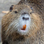 Nutria - Myocastor coypus.  Photo by California Department of Fish and Wildlife