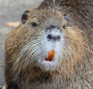 A nutria (Myocastor coypus) animal with brown fur, white whiskers and orange teeth. Photo by CDFW.