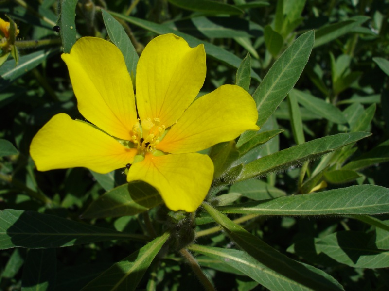 The flower and leaves of a water primrose plant (Ludwigia spp.). Photo by Bouba.