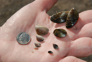 Five dark brown/tan-striped and five light brown/tan-striped Quagga Mussels (Dreissena rostriformis bugensis) shown next to a dime in a person's hand for size reference. Photo by CDFW.
