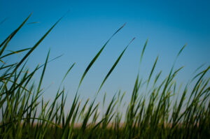 Green tule grass shown against the blue sky on Sherman Island in the Sacramento-San Joaquin Delta. Photo by Florence Low, California Department of Water Resources.