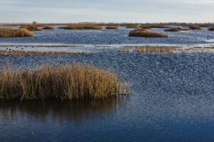 Tule marsh with American Coot birds in the water in the Sacramento-San Joaquin Delta.