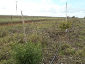 Recent plantings and an irrigation line at a restoration site. Photo by Solano Resource Conservation District.