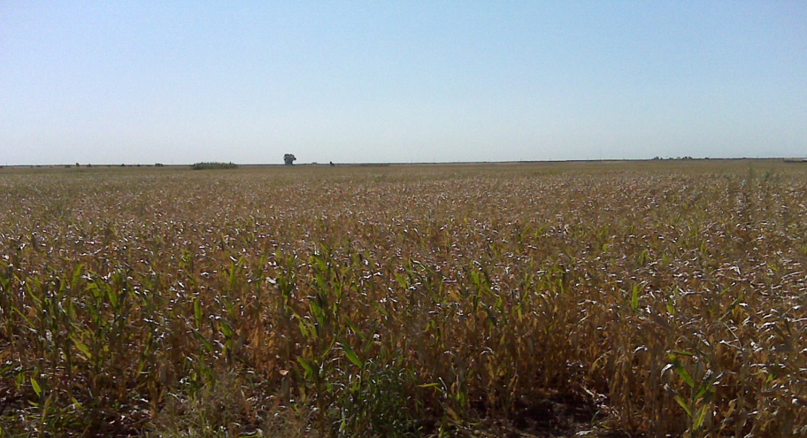 Stalks of corn growing on Twitchell Island shown on a sunny day in 2009.