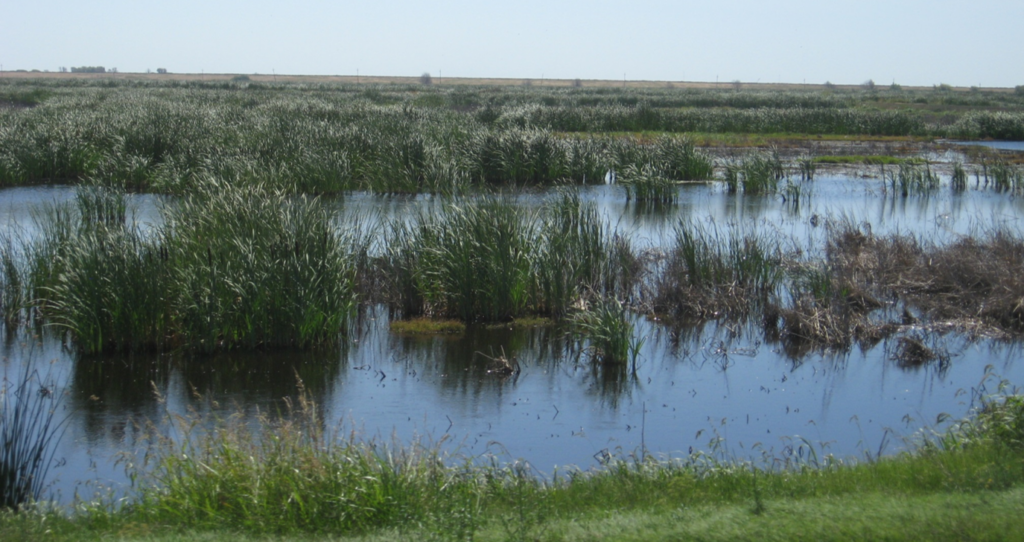 Wetlands with green plants and blue water on Twitchell Island, shown on a sunny day in 2015.