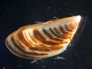 A Zebra mussel (Dreissena polymorpha) with brown, tan, and cream-colored stripes.